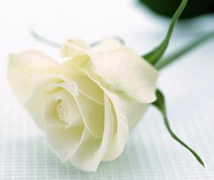 กลิ่นดอกกุหลาบขาว
