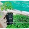 การปลูกมะละกอฮอลแลนด์ การออกดอกติดผลของมะละกอ