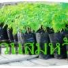 มะละกอ สายพันธุ์ 1 เดือน 15 วัน ต้นกล้ามะละกอฮอลแลนด์