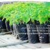 มะละกอ สายพันธุ์ มะละกอฮอลแลนด์ (ต้นกล้าอายุ 1 เดือน-1 เดือนครึ่ง)