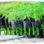 มะละกอ สายพันธุ์ 1 เดือน 15 วัน ต้นกล้ามะละกอฮอลแลนด์ thumbnail 1