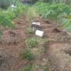 ต้นกล้ามะละกอ ต้นมะละกอ ปลูกอย่างไรให้รวยให้ปัง ให้นอกฤดู
