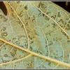 แจกสูตรสมุนไพรป้องกันการเกิดโรคจุดวงแหวนในมะละกอ